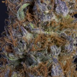 Buy Sour Candy Kush Cannabis Seeds Online UK