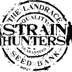 Buy Strain Hunters Cannabis Seeds online UK