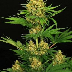 Buy Tangerine Kush Cannabis Seeds Online UK