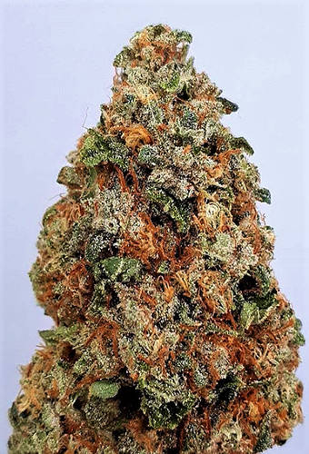 Dogstar Dawg Cannabis Seeds
